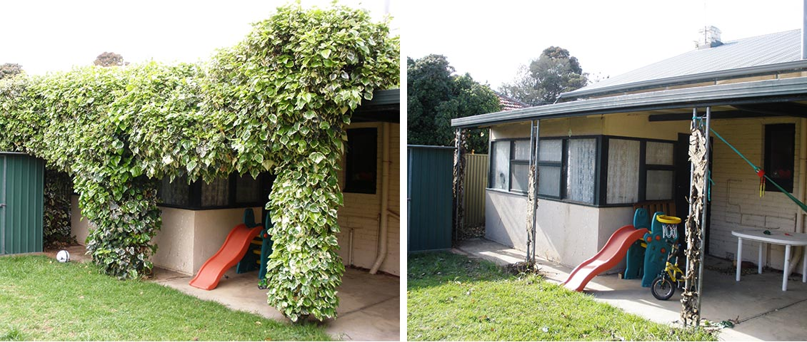 Overgrown ivy hedge removed and gutters cleaned.